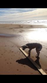 Ett lamm på stranden =)