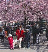 Fantastisk vackert med körsbärsträden som blommade i Kungsan.