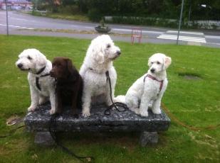 Bild från promenad i Brösarp. Charlie, Gibson, Primus och Mitzy.