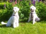 Mitzy o Charlie poserar vid vackra lupiner.