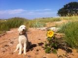 Denna fina solros växte på stranden, Charlie, sol o solros lyste ikapp idag.