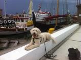 Charlie poserar i Varbergs hamn, framför vikingaskepp och Getterö-båten vi snart ska åka med.