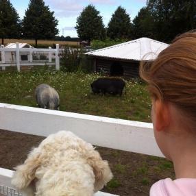 Här spanas det på grisar på Stadsbondgården.