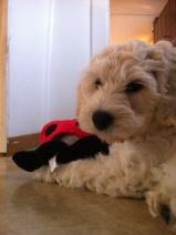 Saga med ny leksak, köpt på Dogz. Vingarna prasslar, den är jättekul!