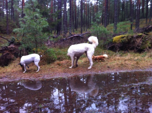 Pedro, Charlie och Putte tar en skön skogspromenad (skönt utan lillasyrran)