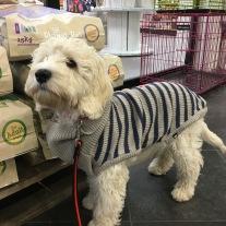 Det har blivit kallt ute och Saga 3,5 månad fick köpa sig en tröja på Dogz.