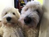 valpen Saga och Vårdhunden Charlie