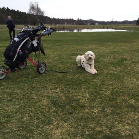 Charlie på golfbanan.