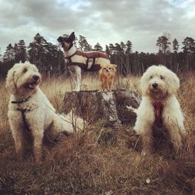 Bild från härlig skogspromenad. Charlie, Pedro, Putte och Saga.