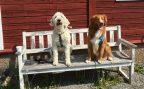 Grabbarna med divalater, Charlie och Vill. Två alldeles fantastiska hundar som spelar Sandy i musikalen Annie.