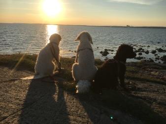 Siluetter av tre trötta , vackra diodlar i solnedgång.