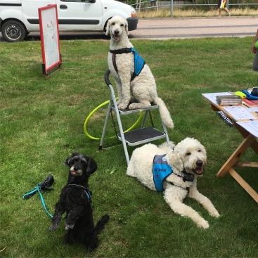 Lördagens hundar, lilla Berta, Mitzy (på stolen) och Charlie.
