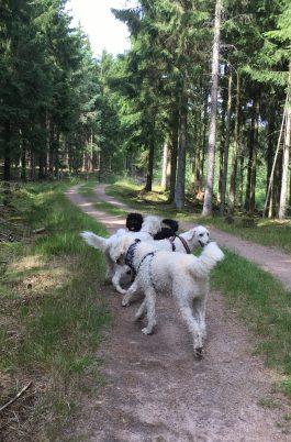 Granna hundar i grann skog