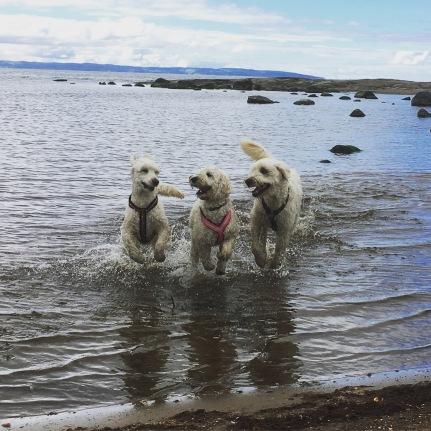 Mitzy, Saga och Charlie på stranden.