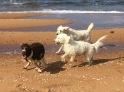 Goa Nizze blir jagad av vita fluffisar.... Två mot en.....