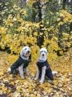 Charlie och Mitzy, så vackra tillsammans i hösten. På promenad i Östergötland.