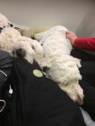 """Ingegärd och jag tittar på teatern """"Askhunden"""". Våra lurviga passade på att vila sig."""