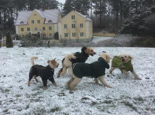 Talldungen i bakgrunden. Vårdhundarna Torsten och Charlie med småsyskon Svante och Saga