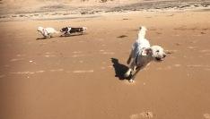Glada busiga hundar. Charlie närmast och i bakgrunden Saga och Hjördis.