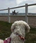 Saga tittar på när Jenny rider sin fina skimmel.