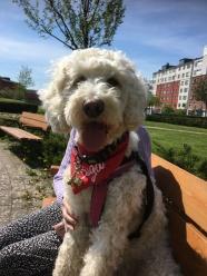 Vårdhundseleven Saga, bästa vikarien