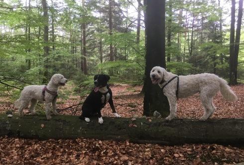 Dogparkour i bokskogen