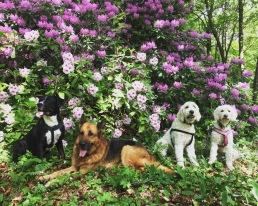 Nova, Ville, Charlie och Saga framför blommande rododendron.