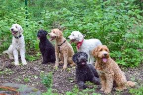 Charlie, Elsa, Laban, Saga, Siri och Bailey på labradoodlelek i Stockholm