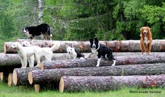 Alla sex hundarna poserar