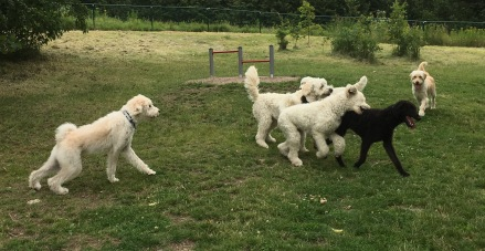 Labradoodles in action