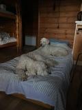 Upptaget i sängen av Läshunden Mitzy och vårdhundseleven Saga....
