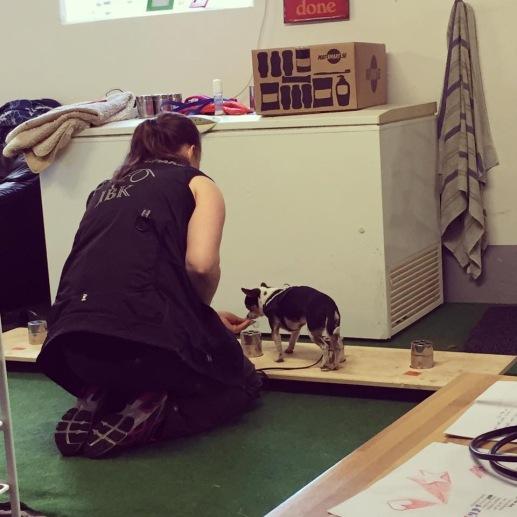 Gullig liten hund jobbar på workshopen Nosework