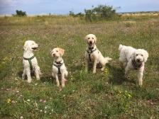 Mitzy, Svante, Torsten och Saga på strandängen under vår promenad efter avslutad träff.
