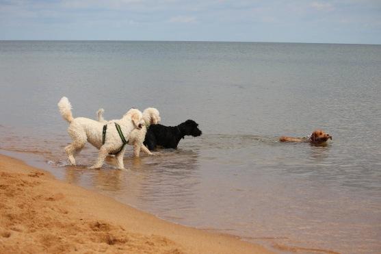 Bailey hämtar pinnen, ivrigt påhejad av Mitzy, Saga och Albin