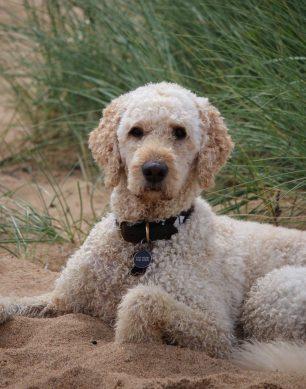 Ståtliga Vårdhunden Torsten , den blicken alltså....