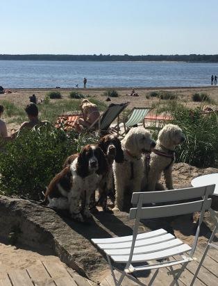 Svea, Hjördis, Charlie och Saga sociala tjänstehundar på semester på Söderpiren