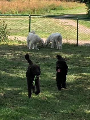 Simon och Charlie nosar... Och Hebbe och Buddy tar hand om det materiella