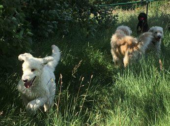 En del i rasthagen var inte klippt och hundarna verkade gilla att hoppa i det laga gräset.