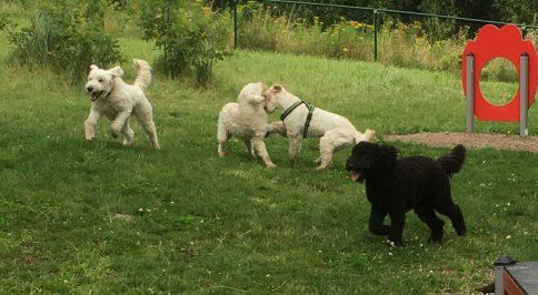 Saga och Mitzy leker. Charlie och Buddy har annars på gång