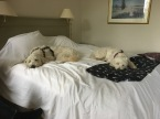 Vårdhunden Charlie och vårdhundseleven Saga chillar på Grand hotel, Halmstad