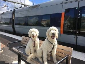 Labradoodlar på Halmstad station