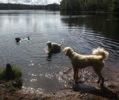 """Sienna äääälskar att bada, de andra doppar gärna benen och kollar på när Sienna simmar runt, kolla hennes """"rodrer"""""""