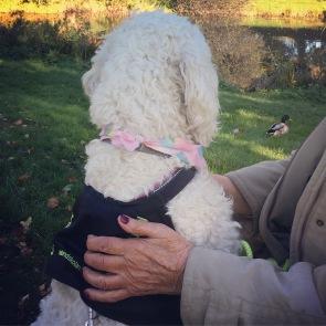 Saga på promenad, gräsänderna är närgångna men Saga håller sig lugn och fin. Hon får bra stöd av kunden som berömmer och ger en go´bit ibland.