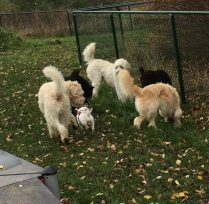 goa hundar hälsar på varandra