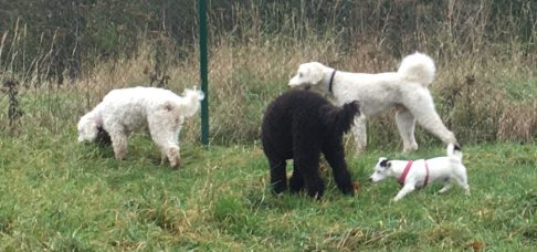 Saga, Buddy, Simon och lilla Lucy 5 månader, shitzu / jack russel