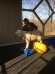 Charlie balanserar i träningshallen på Cannstaff