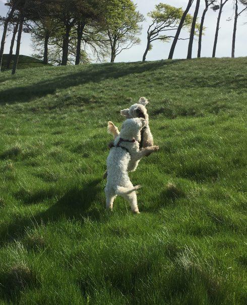 Vårdhundar leker i gröngräset