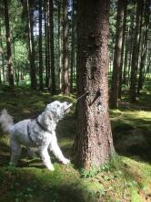 Leta-övning i skogen. Ett litet paket hängde i ett träd fyllt med godis. Alla vovvarna fick paket att leta efter och sedan öppna dem själva.