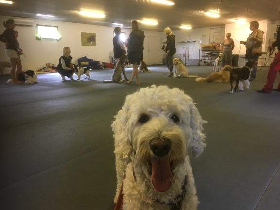 Vi gjorde lite samarbetsövningar för att hundarna skulle få lite pejl på kollegorna, denna träff för sociala tjänstehundar.