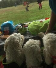 Mitzy, Saga och Charlie kollar på uppvisningen i lydnad av den fina hunden på plan.